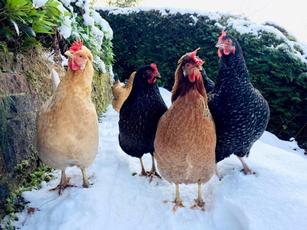 Our Chickens 2019